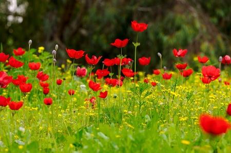 Wild Anemone flower spring field photo