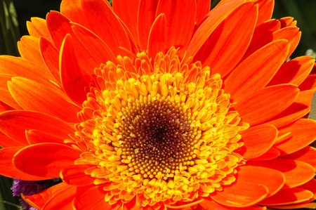 beautiful blossoming orange gerbera, closeup photo