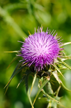 Blossoming thistle with pink flowers on green background photo