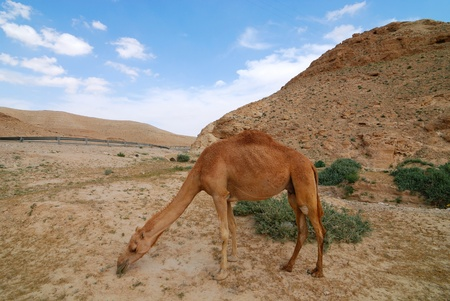 dromedary (camel) graze in Judean desert Stock Photo - 13179621