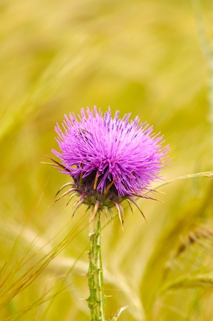 Blossoming thistle with pink flowers Stock Photo - 13179586
