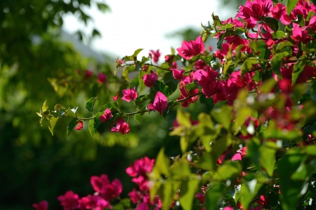 Pink blooming bougainvilleas, closeup  photo