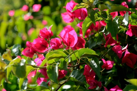bougainvilleas: Pink blooming bougainvilleas, closeup