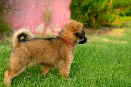 cute brown puppy standing in grass Stock Photo - 14229096