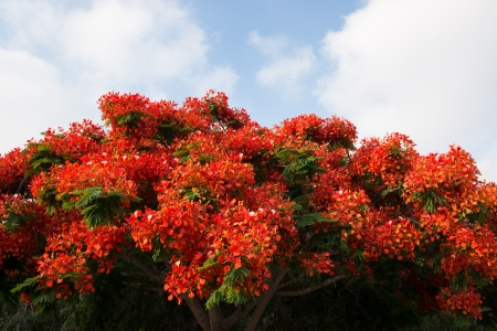 Peacock flowers on poinciana tree over cloudy sky photo