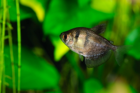 tetra fish: black tetra  ternetzi  fish, closeup