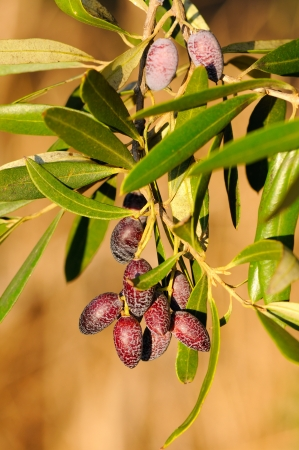 Olives on a branch. Closeup  olives on a tree. Stock Photo