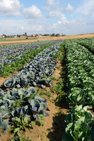 cabbage field at autumn in Israel photo