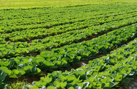 israel agriculture: Cabbage fields in Israel, rows of vegetable food