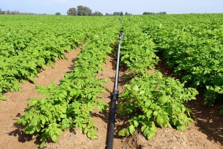 israel farming: Potato fields in Israel, rows of vegetable food