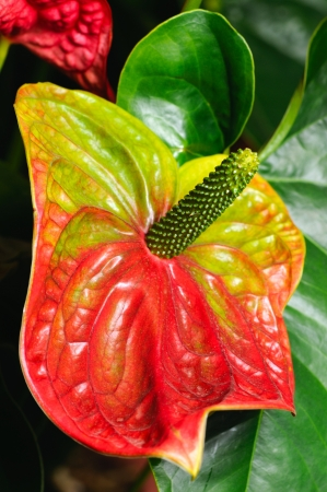Red anthurium flower in  greenhouse, closeup photo