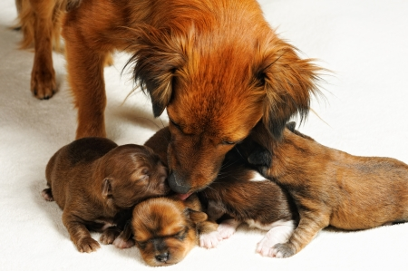 bitch: four cute blind puppies and mom over white