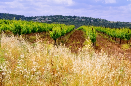 grape harvest: landscape with rows of vineyard
