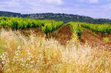 paysage avec des rangées de vigne