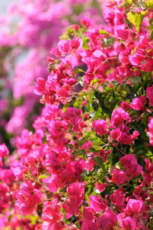 bougainvillea pink flowers under sunlight photo