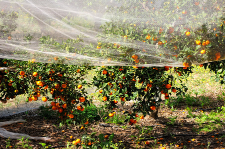 israel agriculture: orange tree covered with a net