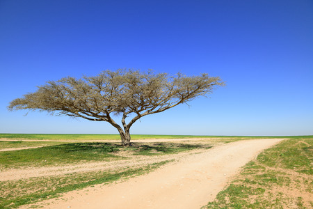 Lonely acacia tree over blue sky photo