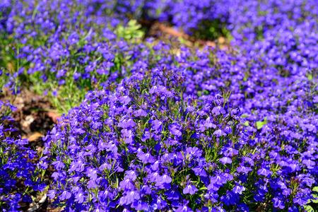lobelia: lobelia flowers,lobelia erinus, closeup