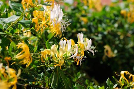 Japanese honeysuckle flowers in a garden, closeup