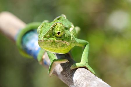 jaszczurka: green chameleon - Chamaeleo calyptratus, closeup