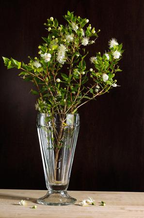 Myrtus myrtle - Plantae Angiosperms Eudicots Rosids Myrtales Myrtaceae