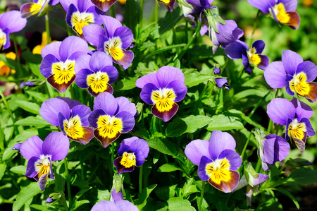 violas: Beautiful tiny tricolored violas ( Heartsease or Johnny Jump Ups)