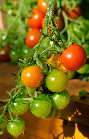 cherry tomatoes plant at vegetables bed photo
