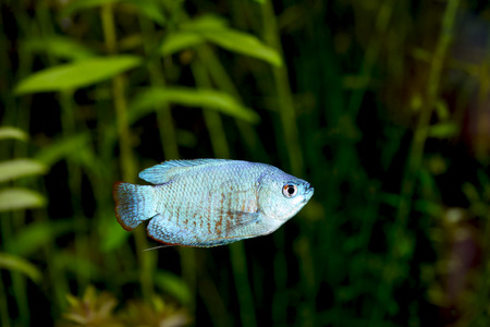 biotype: Powder Blue Dwarf Gourami in an Aquarium