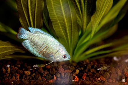 aquarian: Powder Blue Dwarf Gourami in an Aquarium