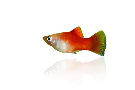 platy: red platy fish isolated on white