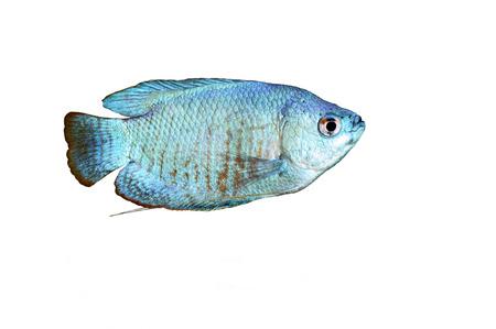 aquarian fish: Powder Blue Dwarf Gourami isolated on white