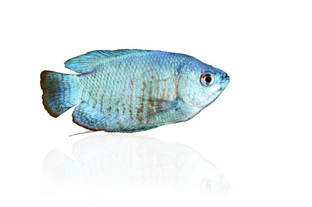 biotype: Powder Blue Dwarf Gourami isolated on white with reflection Stock Photo