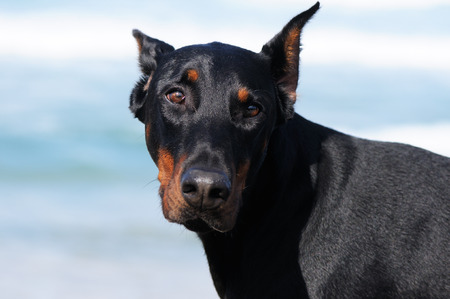 powerfully: young doberman pinscher dog outdoor, closeup Stock Photo