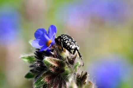 hirta: blossom feeder (epicometis hirta) beetle on Pulmonaria flower feeding nectar