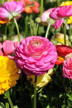 buttercup flower: beautiful pink  buttercup  flower on a field