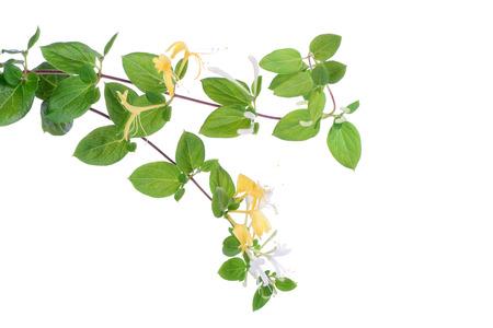 Japanese honeysuckle flowers over white, closeup Stock Photo