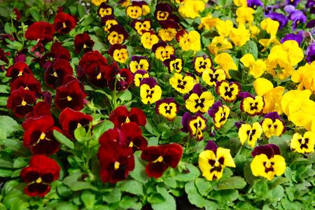 petunias: Petunias flowers in different colors