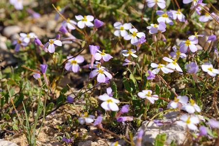 polyanthus: Arabis flaviflora rosea blossoming in Israel