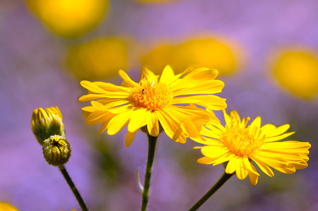senecio: Senecio flower. Beautiful bright yellow flower with long petals.