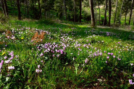 nature reserves of israel: Cyclamen Cyprium flowers (Cyprus cyclamen) growing in a forest