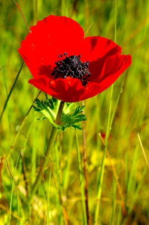 beautiful red anemone flower in front of the sun
