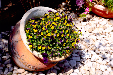 violas: Beautiful tiny tricolored violas ( Heartsease or Johnny Jump Ups) in the jug