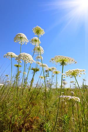 millefolium: Achillea millefolium, known commonly as yarrow. Wildflower. Stock Photo