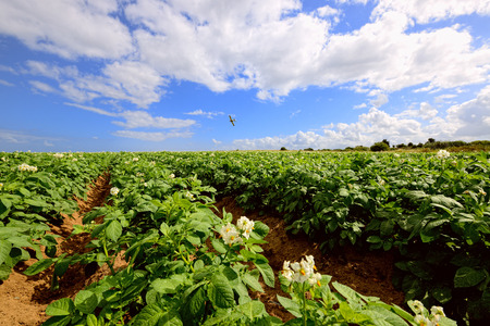 Potato field under blue sky, rows of vegetable food