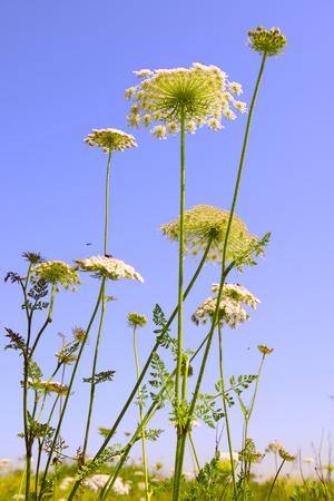 yarrow: Achillea millefolium, known commonly as yarrow. Wildflower. Stock Photo