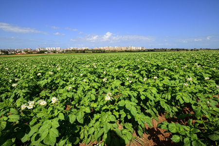 israel farming: Potato field under blue sky, rows of vegetable food