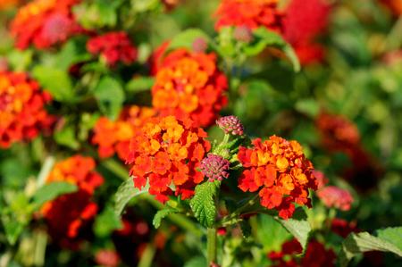 lantana: Multi-colored Lantana flowers with buds and leaves Stock Photo