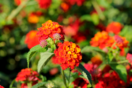 noxious: Multi-colored Lantana flowers with buds and leaves Stock Photo