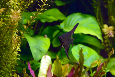 freshwater aquarium plants: angelfish pterophyllum scalare aquarium fish floating in the water between plants.