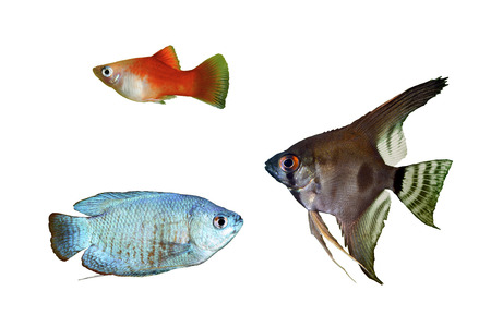 biotype: Blue Dwarf Gourami, Red Platy and angelfish pterophyllum scalare aquarium fishes isolated on a white background